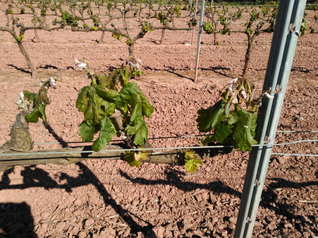 Helada en unos viñedos de Alesanco (28 de abril de 2017)