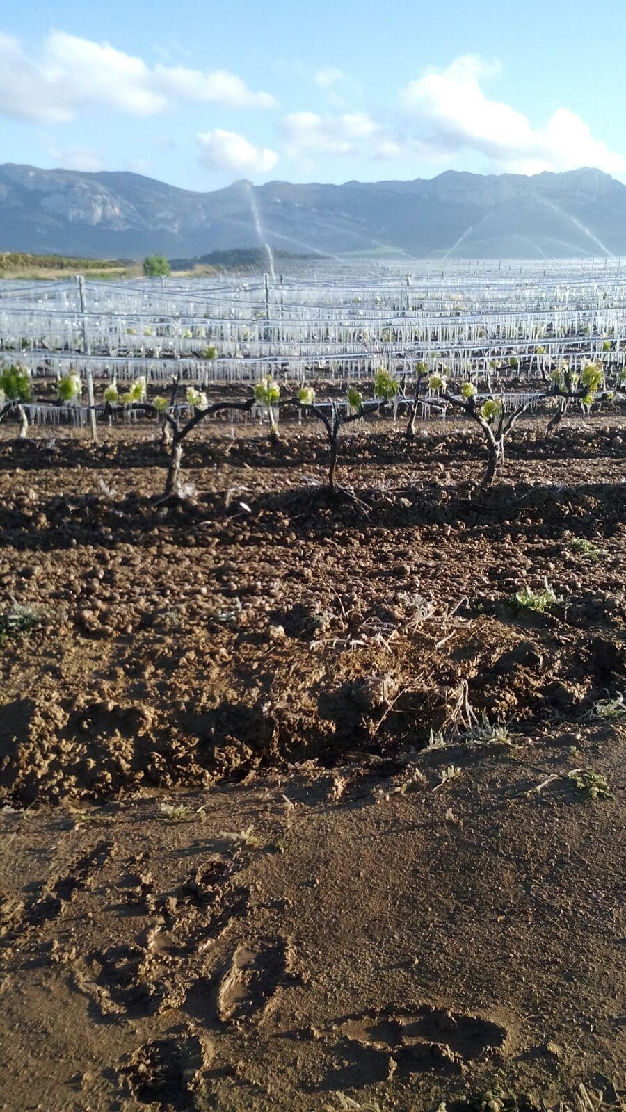 Helada en unos viñedos entre Leza, Samaniego y Villabuena de Álava (28 de abril de 2017)